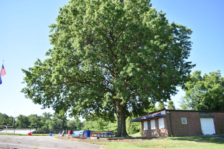 ACPS plans to cut down 150-year-old tree